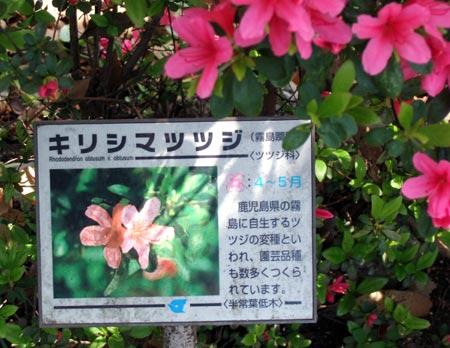 Kirishimatsutsuji02